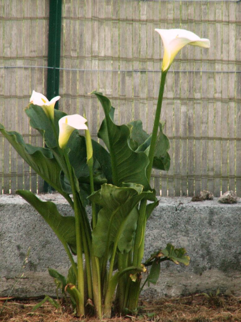 Arums, bouquet naturel.jpg