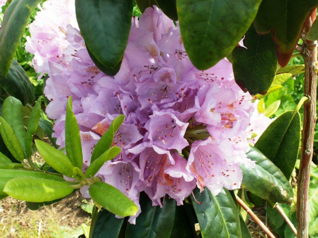 mauve, en fin de floraison.jpg