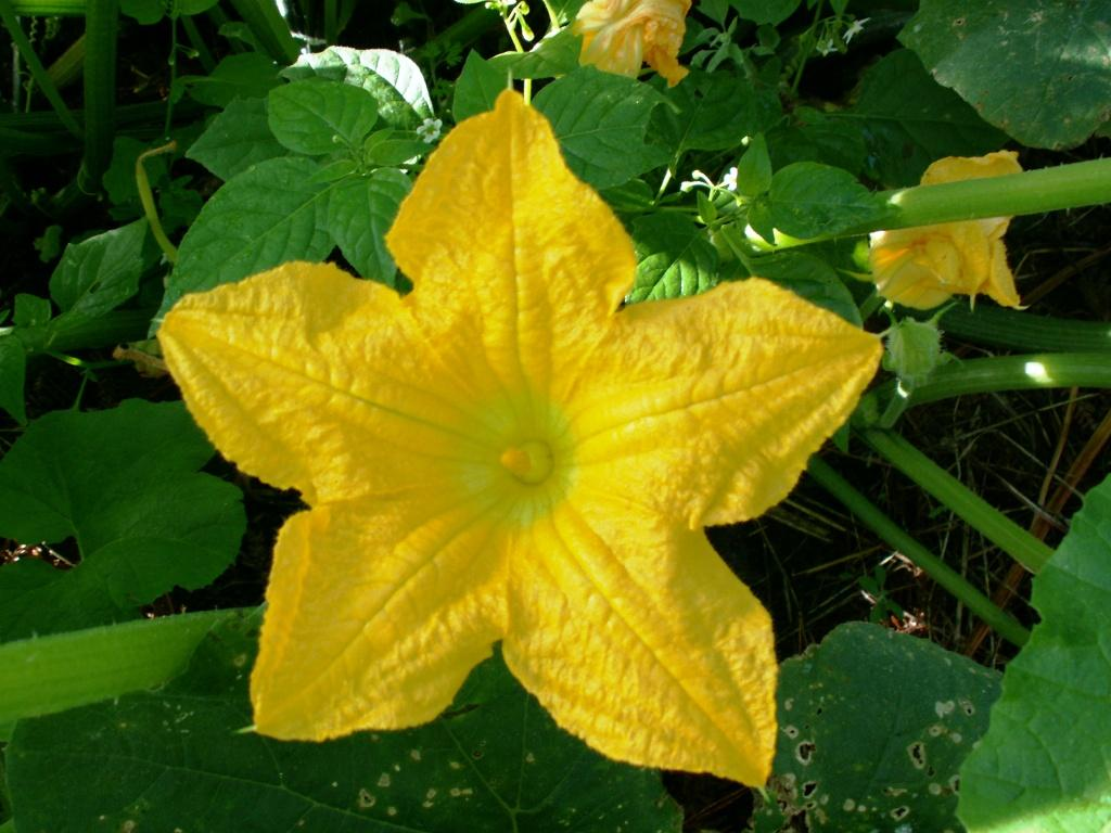Fleur de potimarron.jpg